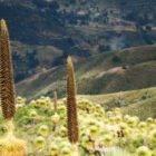 Titancayoc sorpréndete con el boscaje escarnio Raimondi en Ayacucho